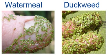 Watermeal and Duckweed on a persons finger